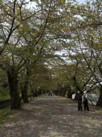 hazakura_a.jpg